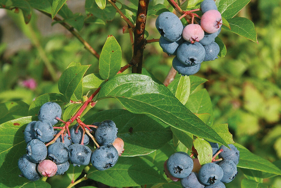 Blåbær 'Blue Crop', Ø17 cm, Blå