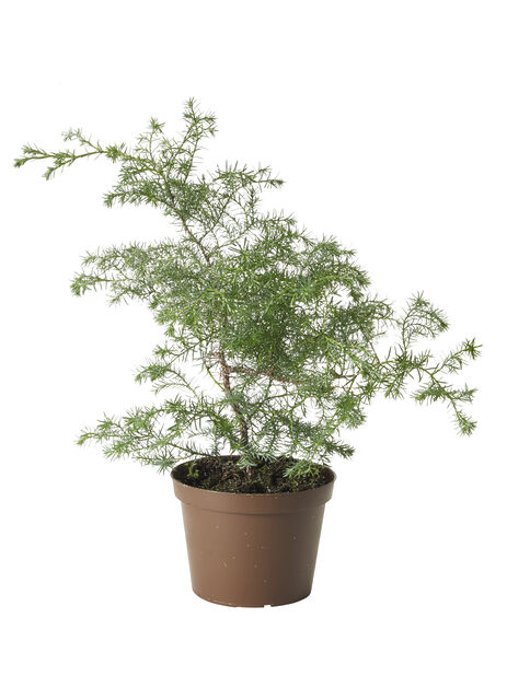 Trådsypress 'Filifera', Ø13 cm, Flere farger