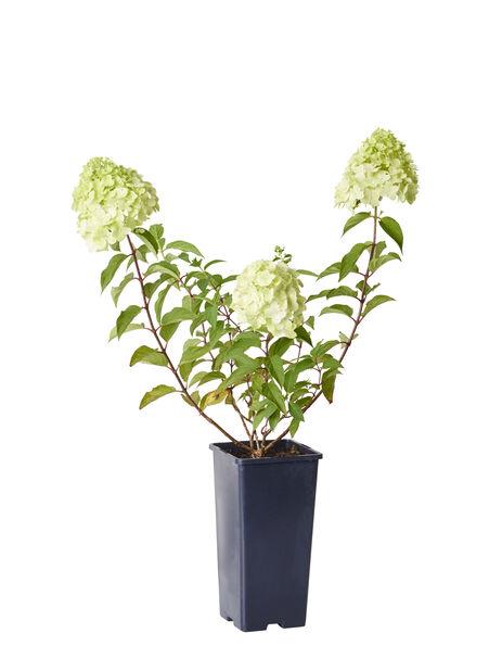 Syrinhortensia 'Grandiflora' 2 L