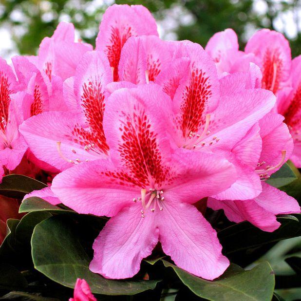 Rododendron 'Furnivalls Daughter', Ø23 cm, Rosa