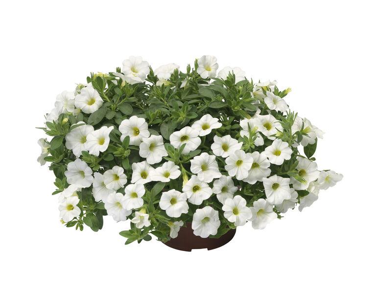 Småblomstret petunia, hvit