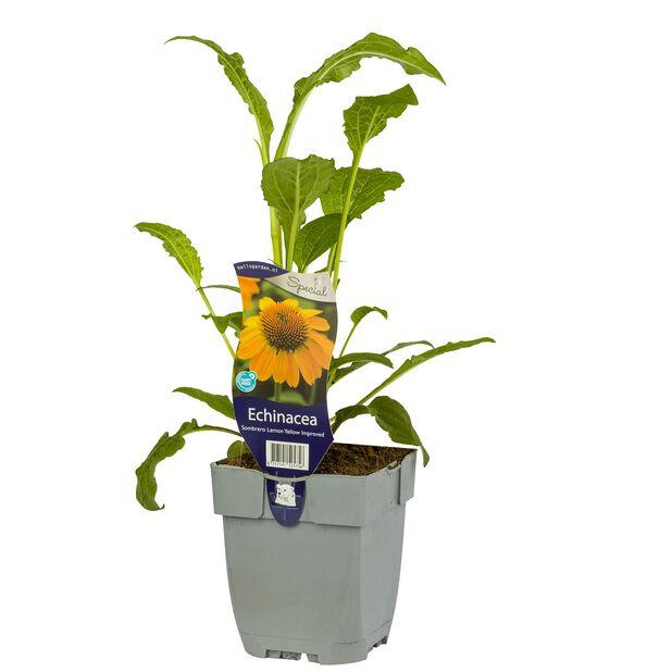 Solhatt 'Sombrero Yellow Improved', Ø11 cm, Gul