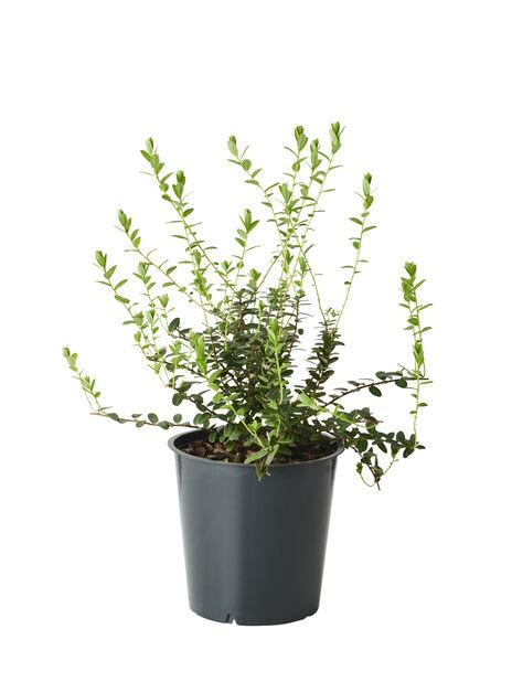 Amerikansk tranebær 'Early Black', Ø12 cm, Blå