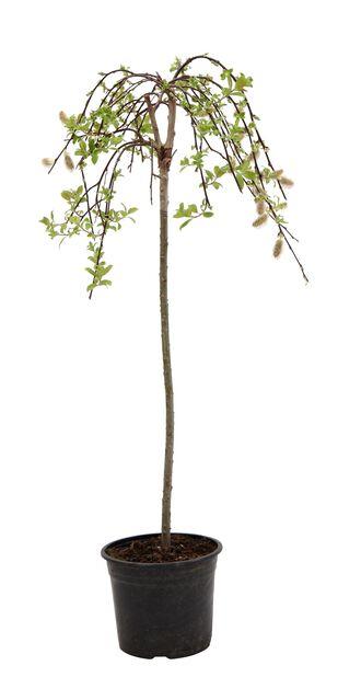 Hengeselje, 40 cm stammehøyde