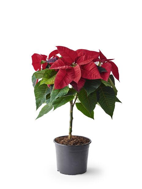 Euphorbia pulch. Red on stem 17cm