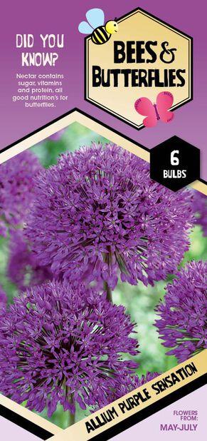 Allium 'Purple Sensation, Hvit