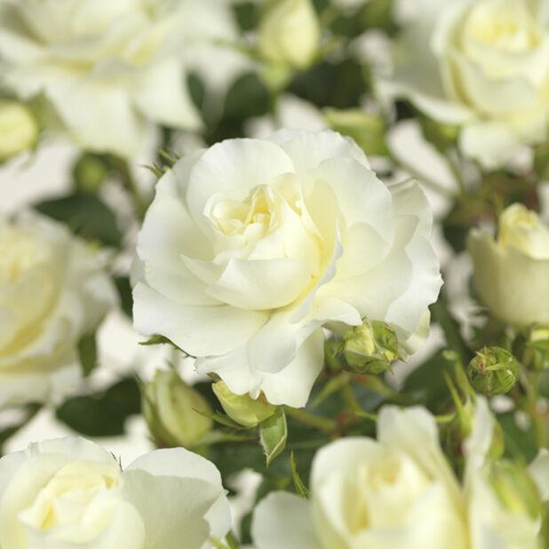 Rose 'Poulsen' stem, Høyde 60 cm, Hvit
