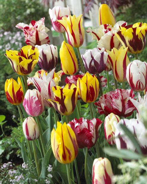 Tulipan 'Rembrandt' miks, Flerfarget