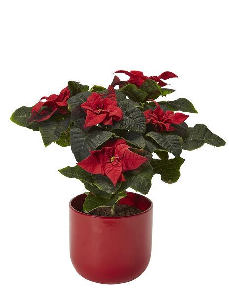 Flergrenet julestjerne 'Winter Rose' , Høyde 30 cm, Rød