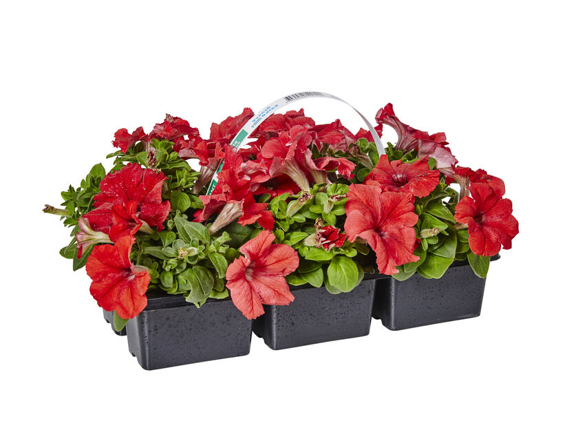 Petunia i 6 pakk rød
