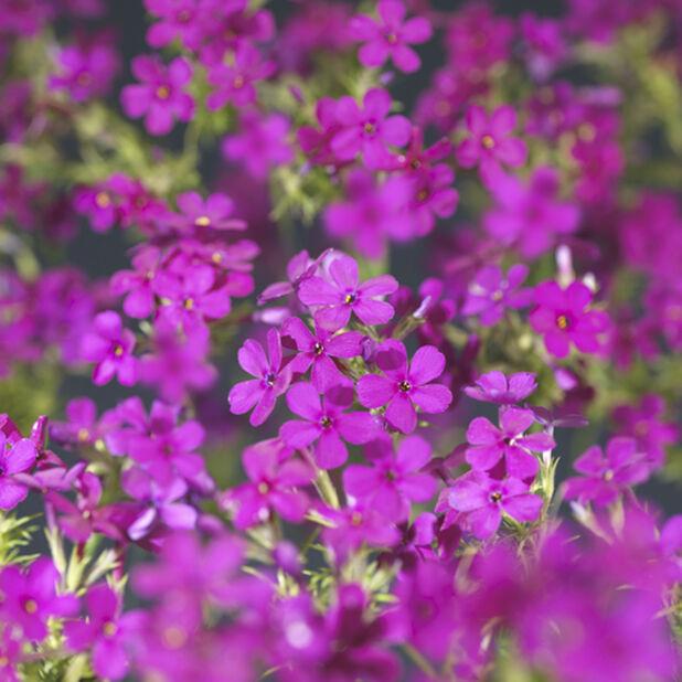 Vårfloks, Ø17 cm, Flere farger