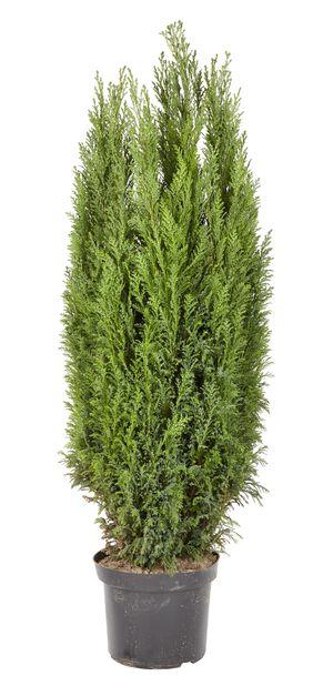 Sypress 'Ellwoodii', Høyde 100 cm, Blå