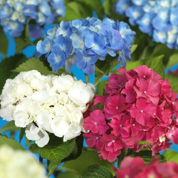 Hagehortensia blå oppst. 19 cm