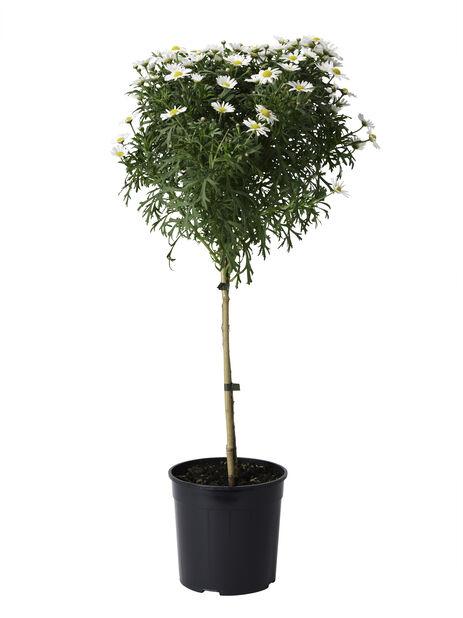 Margeritt oppstammet 19 cm