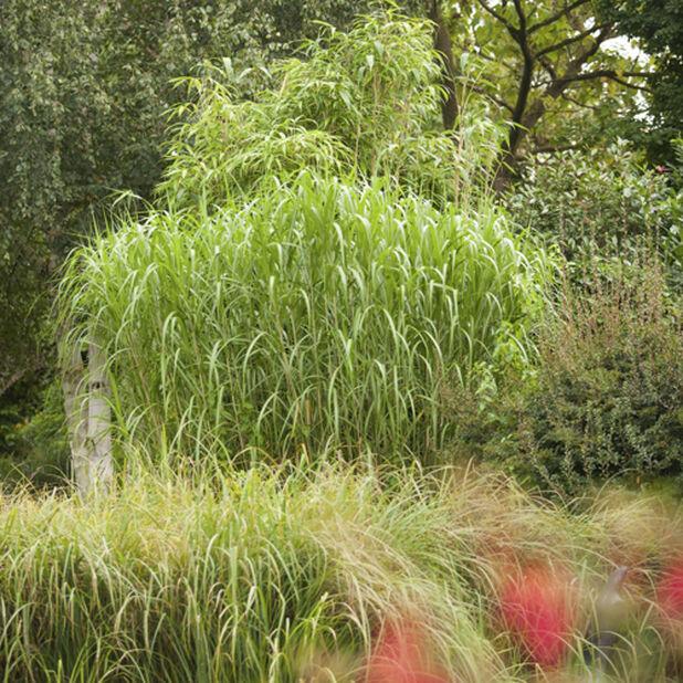 Elefantgress, Ø23 cm, Grønn