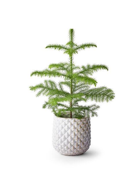 Stuegran, Høyde 40 cm, Grønn