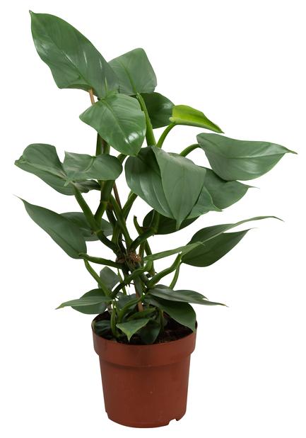 Philodendron Hastatum 17 cm