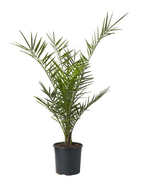 Kanaridaddelpalme, Ø19 cm, Grønn