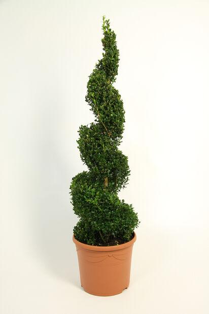 Europabuksbom Spiral, Ø23 cm, Grønn
