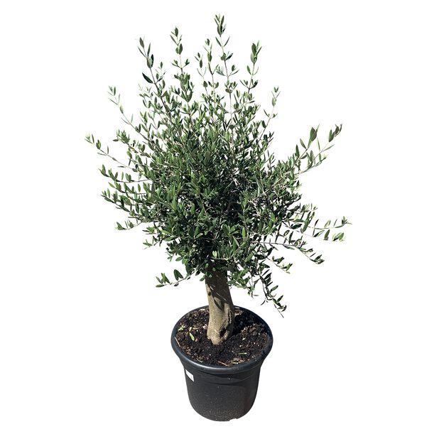 Oliventre, Høyde 150-175 cm, Grå