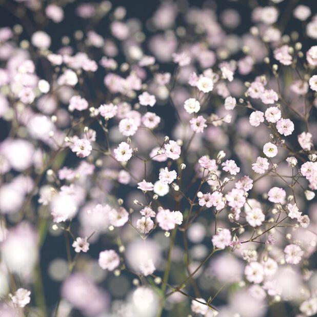 Brudeslør 'Festival White' 11 cm