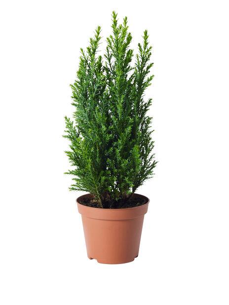 Sypress 'Ellwoodii' i 9 cm