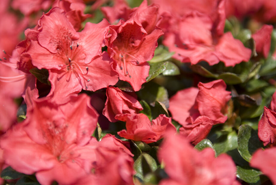 Azalea 'Orange Beauty'