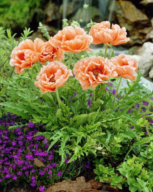 Orientvalmue, Ø11 cm, Oransje