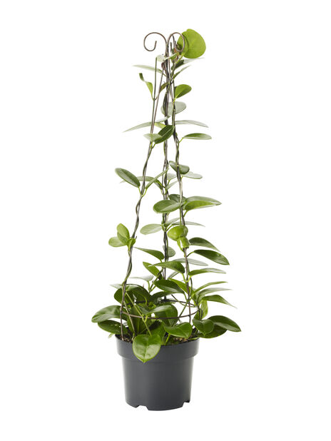 Porslensplante 19 cm
