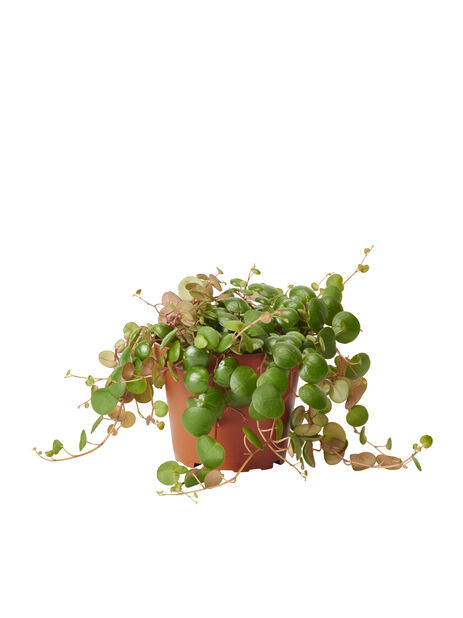 Peperomia 'Pepperspot' 10,5 cm