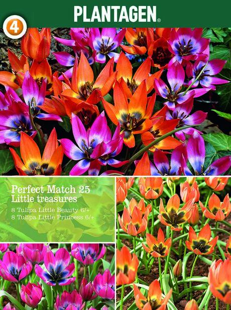 Tulipanmiks Little Treasures, Flerfarget