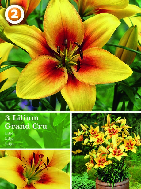 Lilium Asiatic Grand Cru, Gul