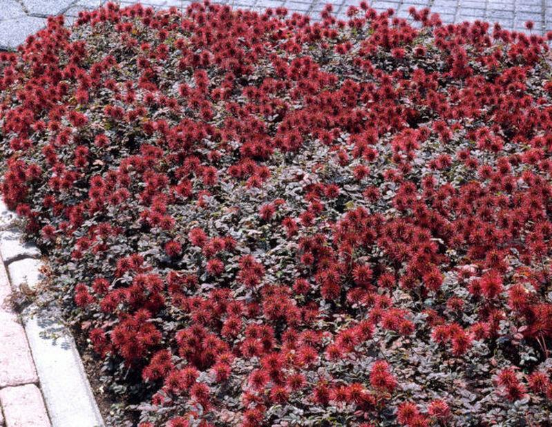 Bronsekryp, Høyde 15 cm, Rød