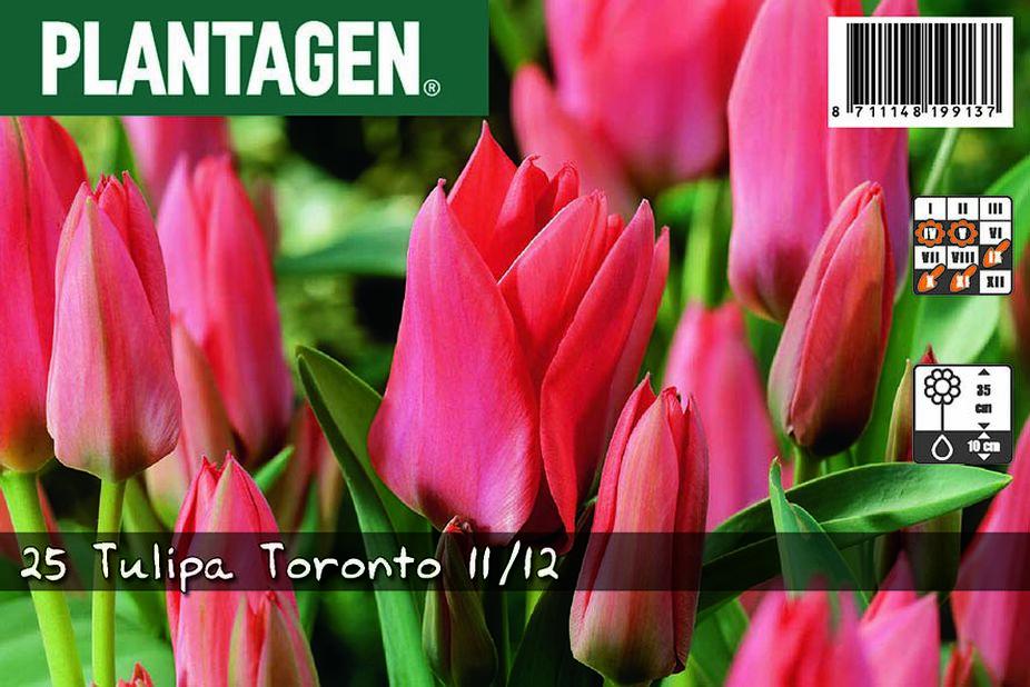 Tulipan 'Toronto', Flere farger