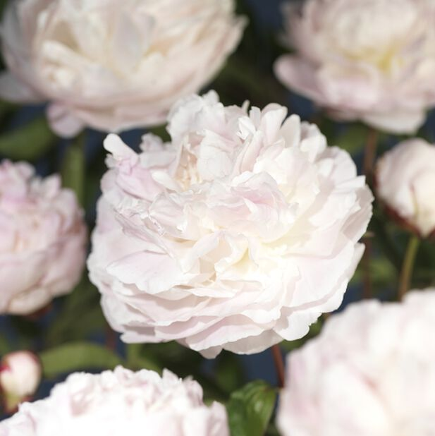 Silkepion rosa 14 cm