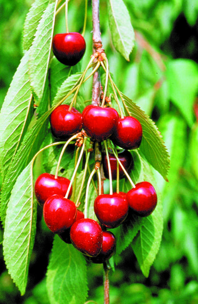 Søtkirsebær 'Lapins'