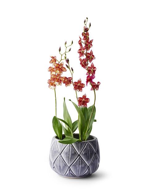 Orkidé 'Cambria'