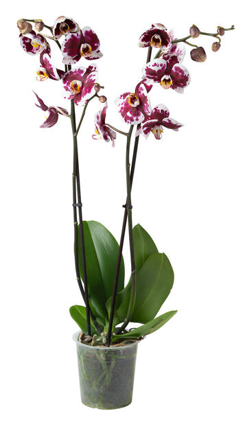 Orkidé, Ø12 cm, Flere farger