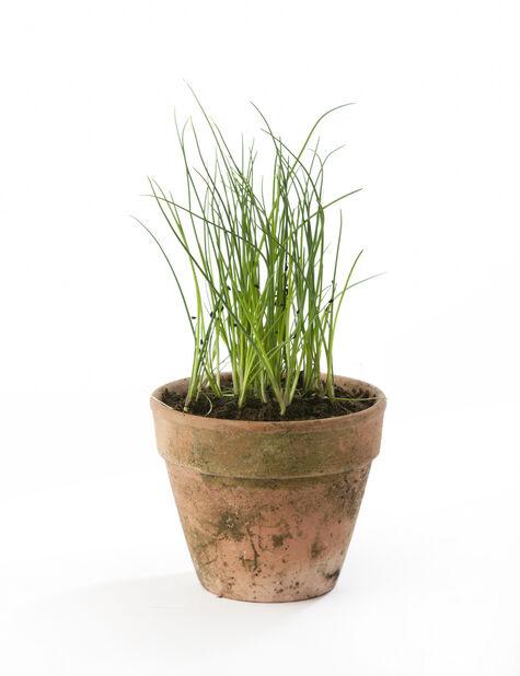 Gressløk, Ø12 cm, Grønn