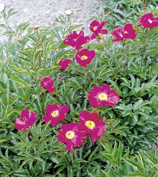 Silkepion rød 14 cm