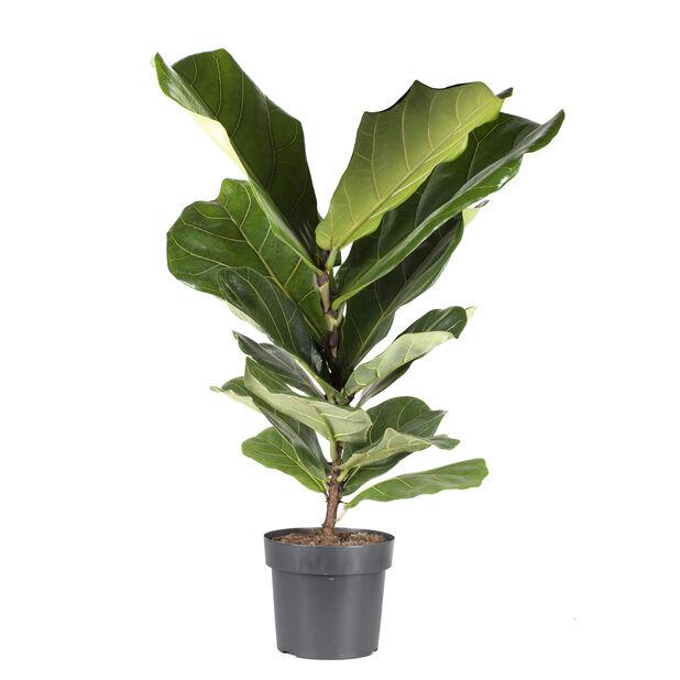 Ficus lyrata, Høyde 75 cm, Grønn