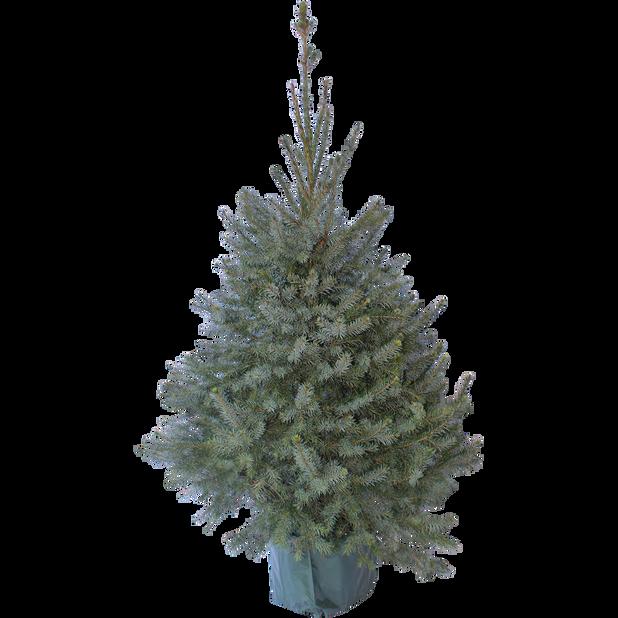 Serbergran, Høyde 80 cm, Grønn