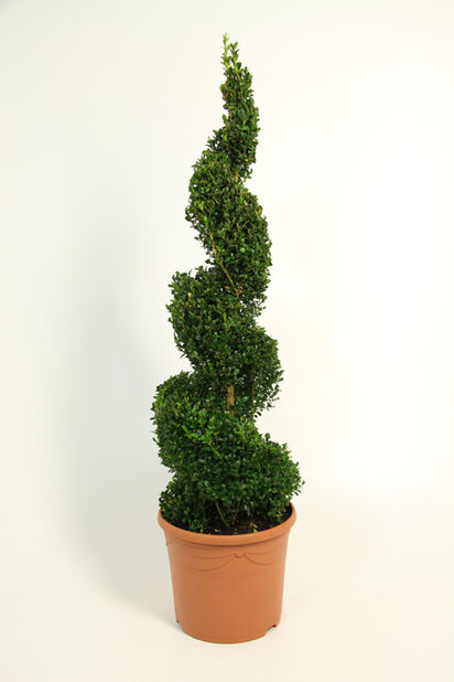 Europabuksbom, spiral 70cm