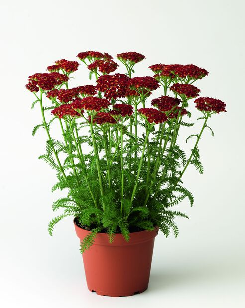 Bakkeryllik, Høyde 15 cm, Rød