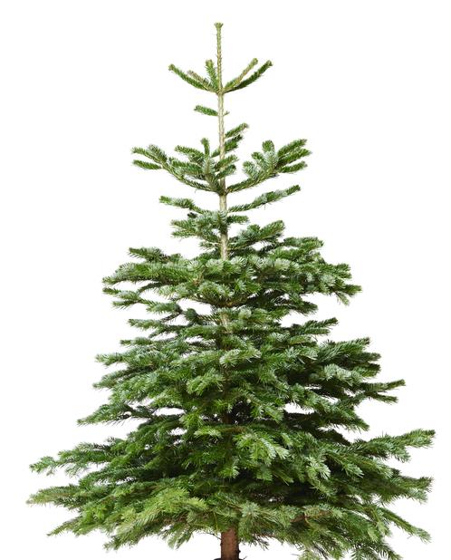 Edelgran, Høyde 200-250 cm, Grønn