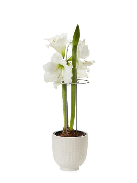 Amaryllis 2 grener, Ø13 cm, Hvit