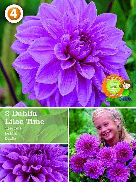 Dahlia Decorative c Time, Lilla
