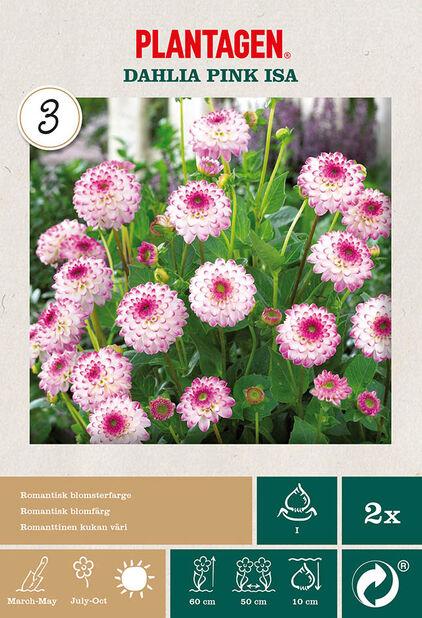 Dekorativ georgine 'Pink Isa', Rosa