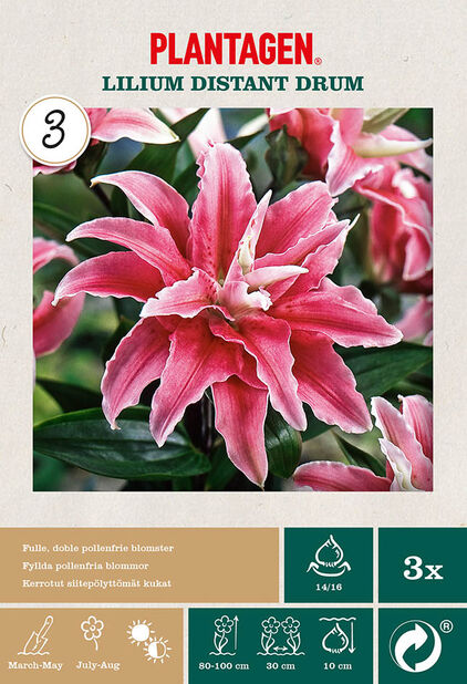 Orientalsk lilje 'Distant Drum' , Rosa