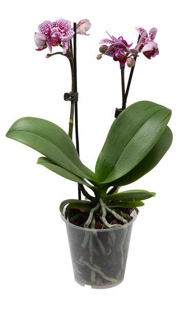 Orkidé , Høyde 25 cm, Flere farger